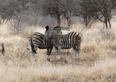 Kruger Park Zebra's