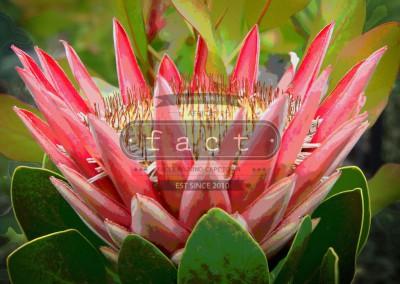 Single Protea